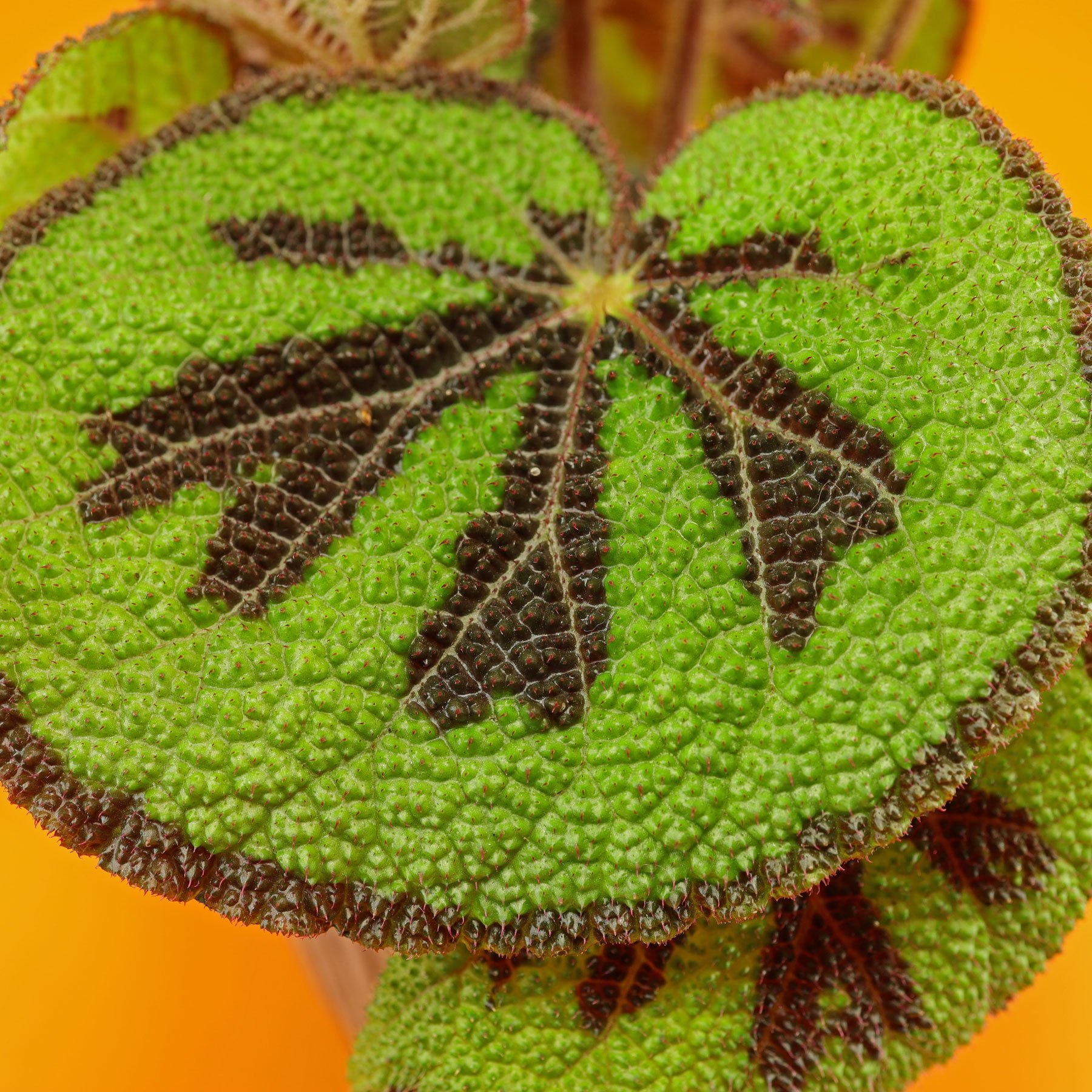 Begonia Iron-Cross