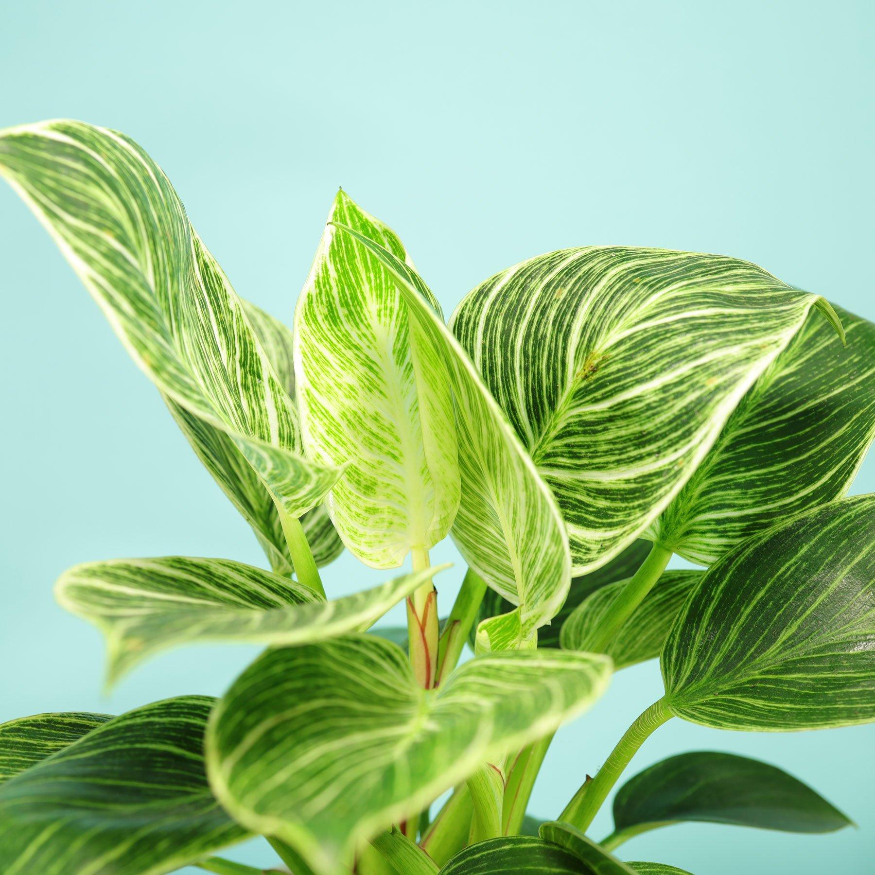 Philodendron Birkin Blätter